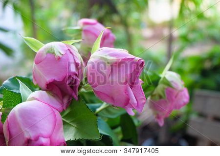 Pink Rose Flowers In Valentine's Day Concept.