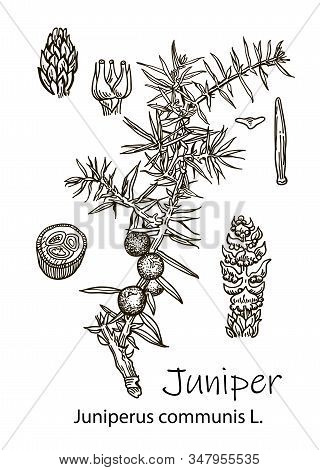 Juniper Branch With Berries. Hand Drawn Herbal Illustration In Sketch Style. Juniper Is A Medical An