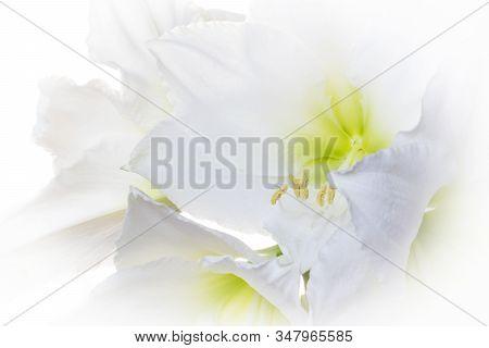 Dreamlike Bunch Of Flowers White Amaryllis (amaryllidaceae, Hippeastrum).  Backlit Photography