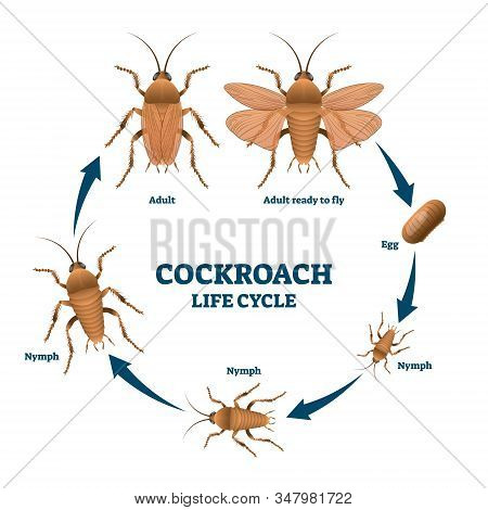 Cockroach Life Cycle Diagram, Vector Illustration Scheme With Labeled Developing Stages From Egg To