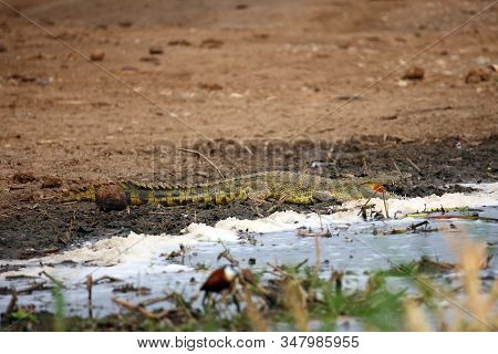 The Nile Crocodile (crocodylus Niloticus)lying On The Shore Of A Large African River.