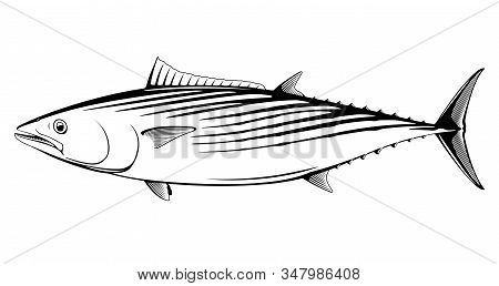 Atlantic Bonito Fish In Side View In Black And White Isolated Illustration, Realistic Sea Fish Illus