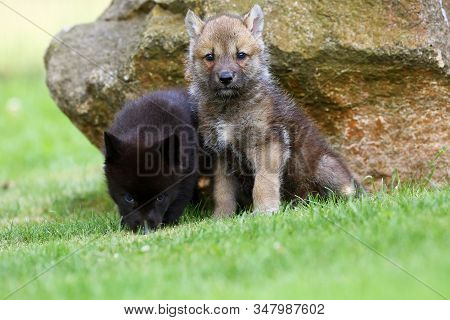 The Gray Wolf (canis Lupus) Also Known As The Timber Wolf,western Wolf Or Simply Wolf. Young Wolf Pu