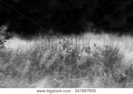 The Eurasian Lynx (lynx Lynx) A Young Lynx In  Grass With Forest Background. Black And White Lynx.