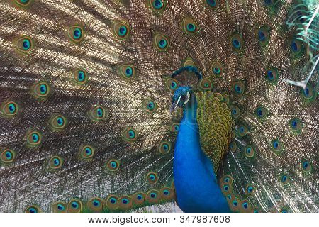 The Indian Peafowl Or Blue Peafowl (pavo Cristatus), Male Portrait. Portrait Of Adult Peacock With B