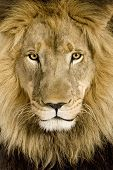 Close-up on a Lion's head (4 and a half years) - Panthera leo in front of a white background poster