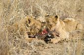 lion cub eating a giraffe in South Africa poster