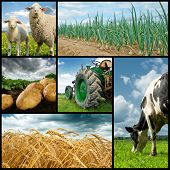 Agriculture collage. Cow sheeps wheat onion potato tractor poster