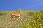 White tailed female deer on a grassy hill. poster
