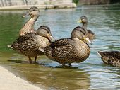 A group of mallard ducks frolic in the warm summer water of a large pond. poster