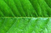 structure of leaf natural background. abstract texture poster