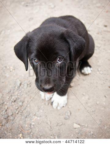 Black lab puppy dog