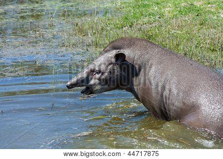 Tapir in the water