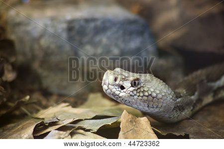 Timber Rattlesnake, Crotalus Horridus Horridus at the Forest Floor