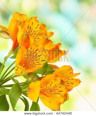 Alstroemerias flowers on bright background