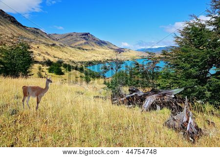Cold summer in Chile. National park to Torres del Paine - a graceful rack wild guanacos on the river bank poster