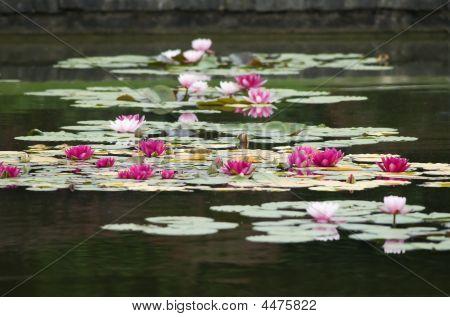 Gruppo Di Ninfee/group Of Water Lilies