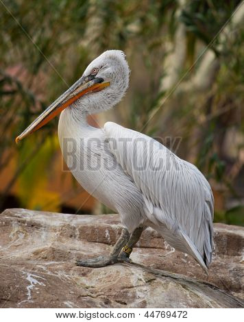 White pelican standing on a rock