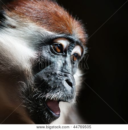 Close-up portrait of mangabey