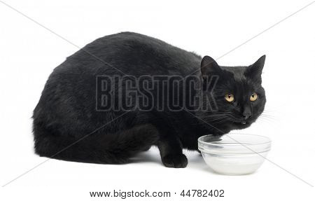 Black cat dinking milk, isolated on white
