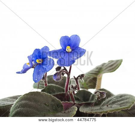 Saintpaulia African Violet house plant flower isolated on white background poster