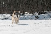 Grey Wolf (Canis lupus) Runs Along Snowy Riverbed - captive animal poster