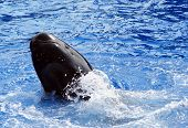 Pilot Whale performing tricks in a pool. poster