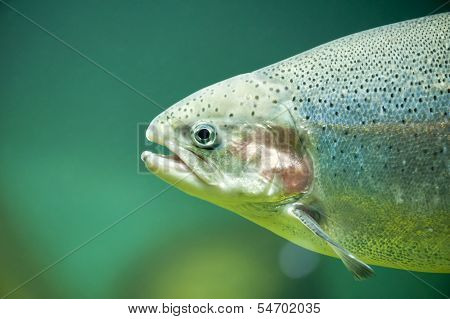Rainbow trout close-up in aquarium