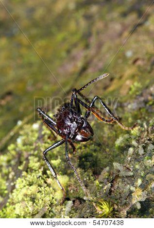 Bullet or Conga Ant (Paraponera clavata)