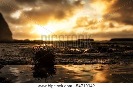 Sun Urchin