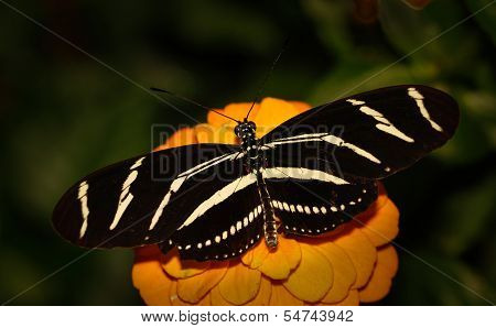 Black and white zebra longwing butterfly