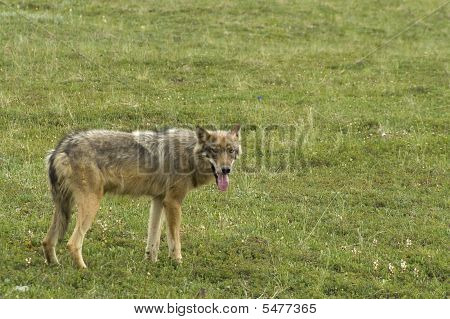 An adult gray wolf (Canis lupus) standing poster