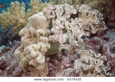 leather coral taken in the red sea. poster