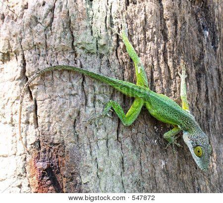 Warwick Lizard