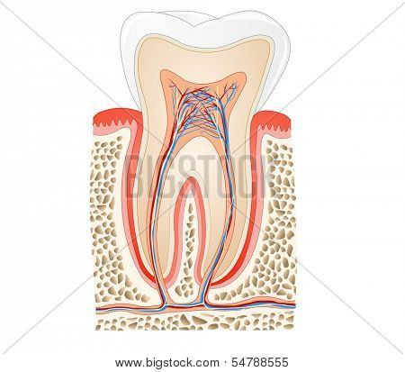 tooth medical anatomy poster