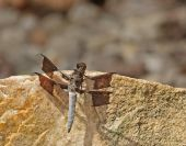 Common whitetail dragonfly (Platemis lydia) on a rock poster