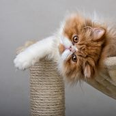 House Persian kitten of a red and white color on a simple background poster