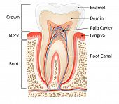 tooth medical anatomy with words poster