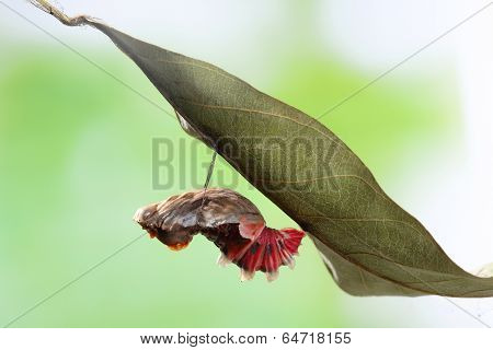 amazing moment about butterfly change form chrysalis - Byasa polyeuctes poster