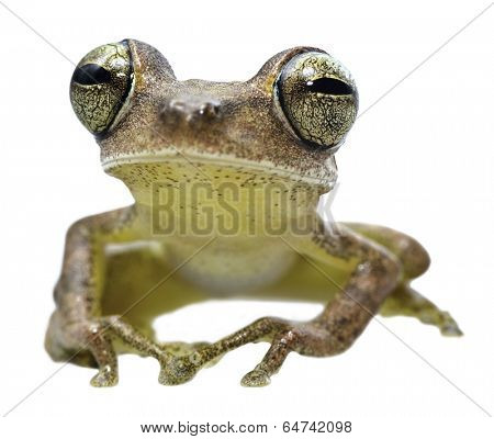 tree frog of tropical Amazon rainforest, this tree frog Hypsiboas fasciatus has huge eyes and lives in the rain forest of Bolivia, Brazil, Ecuador and Peru. Endangered amphibians and night animal