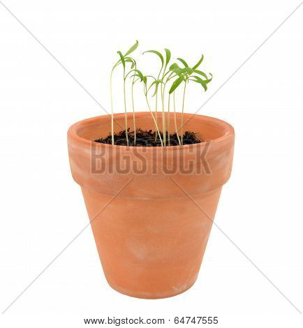 Endive Seedlings In Need Of Thinning In A Terracotta Flowerpot