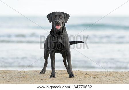 Labrador Dog Playing At The Beach