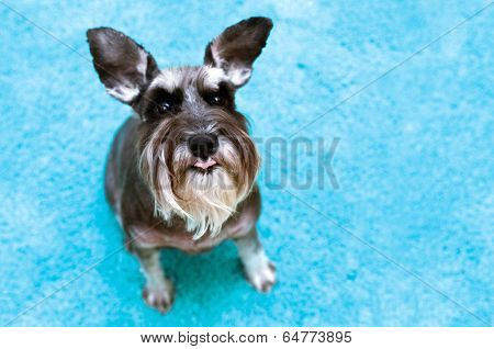 Miniature Schnauzer With Raised Ears And Tongue Sticking Out