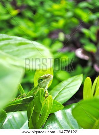 Hawaiian Chameleon on a Leaf