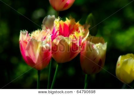 Grouping Of Frilly Tulips