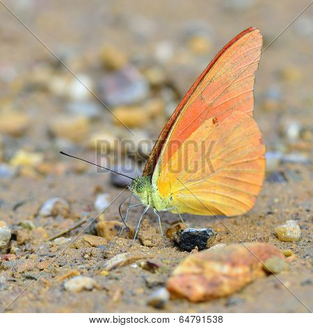 Single Pieridae, An Orange Butterfly Sipping Water