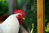 A white rooster by plastic mesh fence in the farmyard poster