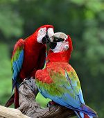 Best shot of kissing sweet macaw green-winged macaw red green blue macaw poster
