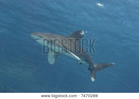 Shark Close To The Surface