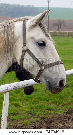 White and brown horse watching